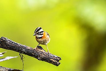 Rufous-collared Sparrow (Zonotrichia capensis), San Gerardo de Dota, San Jose Province, Costa Rica, Central America