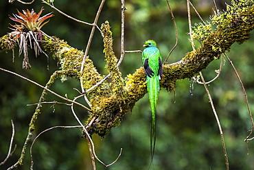 Resplendent Quetzal (Pharomachrus mocinno), San Gerardo de Dota, San Jose Province, Costa Rica, Central America