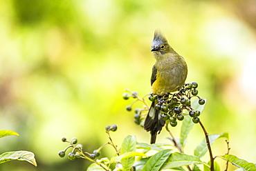 Long-tailed Silky-flycatcher (Ptiliogonys caudatus), San Gerardo de Dota, San Jose Province, Costa Rica, Central America