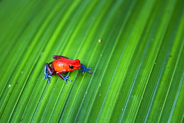 Strawberry poison-dart Frog (Oophaga pumilio), Tortuguero National Park, Limon Province, Costa Rica, Central America