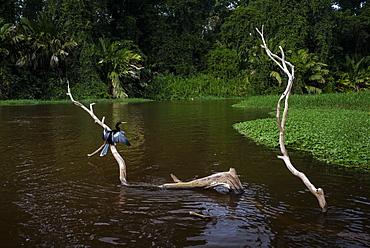 Anhinga (Anhinga Anhinga) bird, Tortuguero National Park, Limon Province, Costa Rica, Central America