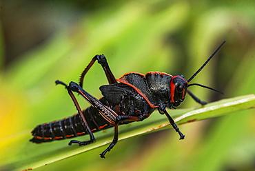 Lubber Grasshopper (Romalea guttata), Tortuguero National Park, Limon Province, Costa Rica, Central America