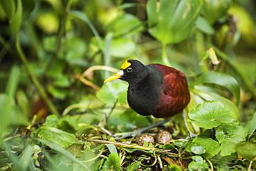 Northern Jacana (Jacana Spinosa), Tortuguero National Park, Limon Province, Costa Rica, Central America