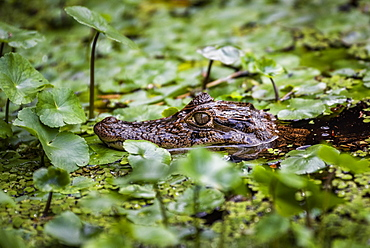 Spectacled Caiman (Caiman Crocodilus), Tortuguero National Park, Limon Province, Costa Rica, Central America