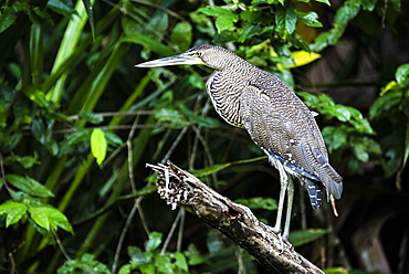 Bare-throated Tiger Heron (Tigrisoma Mexicanum), Tortuguero National Park, Limon Province, Costa Rica, Central America