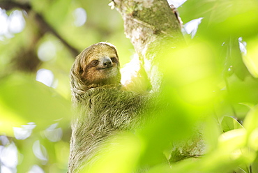 Brown-throated three-toed Sloth (Bradypus variegatus), Tortuguero National Park, Limon Province, Costa Rica, Central America