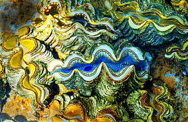 Clams, Cocos Keeling Islands.
