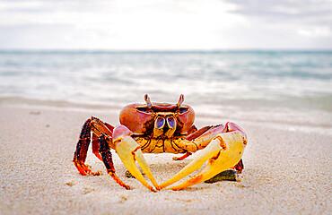 Red crab, Cocos Keeling Islands