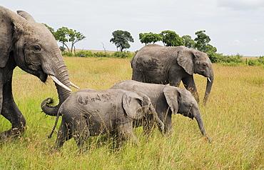 Herd of elephants crossing the Maasai Mara National Reserve, Kenya, East Africa, Africa