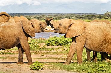 Two young elephants tussling, Samburu National Reserve, Kenya, East Africa, Africa