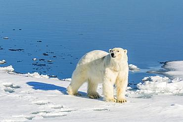 Young adult polar bear (Ursus maritimus) on ice in Hinlopen Strait, Svalbard, Norway, Scandinaiva, Europe