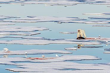 Radio collared female polar bear (Ursus maritimus) with fresh seal kill on ice in Hinlopen Strait, Svalbard, Norway, Scandinavia, Europe