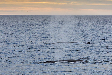 Adult fin whales (Balaenoptera physalus) surfacing off the west coast of Spitsbergen, Svalbard, Norway, Scandinavia, Europe