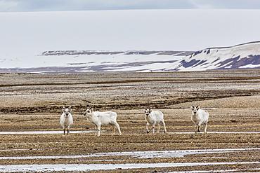 Young Svalbard reindeer (Rangifer tarandus platyrhynchus), at Augustabreen, Nordaustlandet, Svalbard, Norway, Scandinavia, Europe
