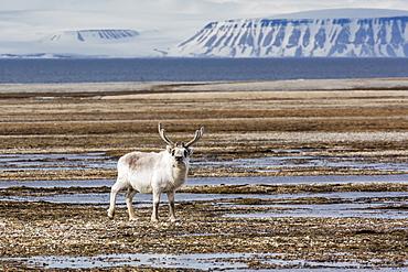 Adult bull Svalbard reindeer (Rangifer tarandus platyrhynchus), at Augustabreen, Nordaustlandet, Svalbard, Norway, Scandinavia, Europe