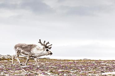 Male Svalbard reindeer (Rangifer tarandus platyrhynchus) at Gosbergkilen, Spitsbergen, Svalbard, Norway, Scandinavia, Europe