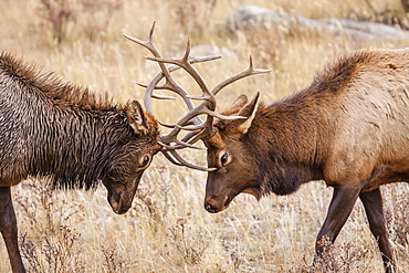 Bull elk (Cervus canadensis) fighting in rut in Rocky Mountain National Park, Colorado, United States of America, North America