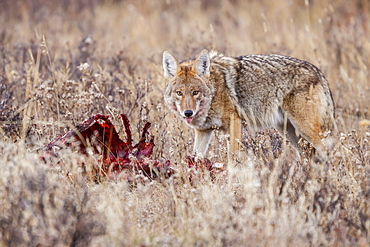 Coyote (Canis latrans) feeding on an elk carcass in Rocky Mountain National Park, Colorado, United States of America, North America
