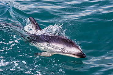 Dusky dolphin (Lagenorhynchus obscurus) surfacing off Kaikoura, South Island, New Zealand, Pacific