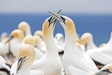 Australasian gannet (Morus serrator) courtship display at Cape Kidnappers, North Island, New Zealand, Pacific