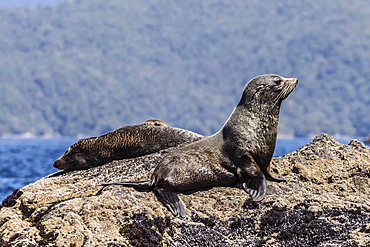 New Zealand fur seals (Arctocephalus forsteri) hauled out in Dusky Sound, South Island, New Zealand, Pacific