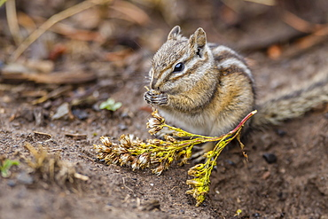 An adult golden-mantled ground squirrel (Callospermophilus lateralis), feeding in Yellowstone National Park, Wyoming, United States of America, North America