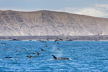 A small pod of four or five killer whales (Orcinus orca) feeding amongst frigatebirds between Fernandina and Isabela Islands, Galapagos Islands, UNESCO World Heritage Site, Ecuador, South America