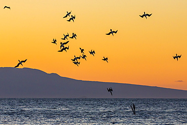 Blue-footed boobies (Sula nebouxii) plunge-diving for small fish at sunset off Rabida Island, Galapagos Islands, UNESCO World Heritage Site, Ecuador, South America