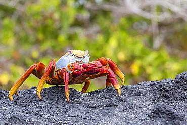Sally lightfoot crab (Grapsus grapsus) in the intertidal zone, Urbina Bay, Isabela Island, Galapagos Islands, Ecuador, South America