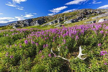 Dwarf fireweed (River Beauty willowherb) (Chamerion latifolium), with caribou antlers in Hebron, Labrador, Canada, North America