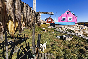 Fish drying on racks in the town of Ilulissat, Greenland, Polar Regions