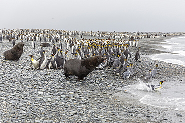 Antarctic fur seal (Arctocephalus gazella) charging through king penguins at Salisbury Plain, South Georgia, UK Overseas Protectorate, Polar Regions