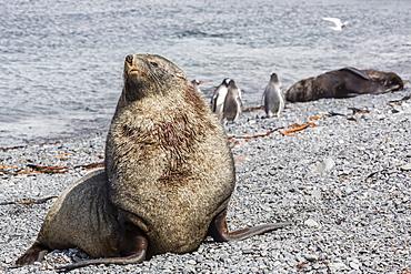 Antarctic fur seal (Arctocephalus gazella) adult bull, Prion Island, South Georgia, UK Overseas Protectorate, Polar Regions