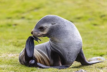 Antarctic fur seal (Arctocephalus gazella) female ready to give birth, Stromness Harbor, South Georgia, UK Overseas Protectorate, Polar Regions