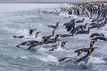 King penguins (Aptenodytes patagonicus) returning from sea at Salisbury Plain, South Georgia, UK Overseas Protectorate, Polar Regions
