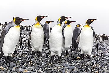 King penguins (Aptenodytes patagonicus) at breeding and nesting colony at Salisbury Plain, South Georgia, UK Overseas Protectorate, Polar Regions
