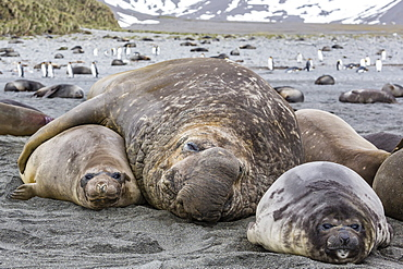 Southern elephant seal (Mirounga leonina) bull holding female down for mating, Right Whale Bay, South Georgia, UK Overseas Protectorate, Polar Regions