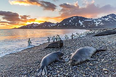 Southern elephant seal (Mirounga leonina), weaner pups at sunrise, Gold Harbour, South Georgia, UK Overseas Protectorate, Polar Regions