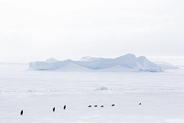 Emperor Penguins (Aptenodytes forsteri) marching across sea ice on Snow Hill Island, Weddell Sea, Antarctica, Polar Regions