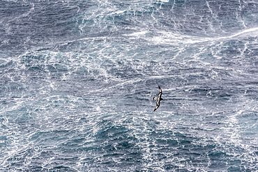 Adult cape petrel (Daption capense) flying in gale force winds in the Drake Passage, Antarctica, Polar Regions