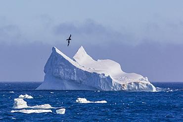 Cape petrel flying over iceberg near Coronation Island, South Orkney Islands, Antarctica, Polar Regions