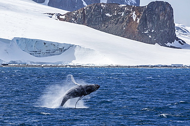 Humpback whale (Megaptera novaeangliae) breaching, Gerlache Strait, Antarctica, Polar Regions