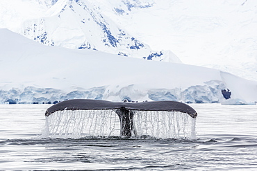 Humpback whale (Megaptera novaeangliae), flukes-up dive in the Enterprise Islands, Antarctica, Polar Regions