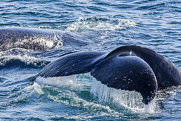 Humpback whale (Megaptera novaeangliae) flukes-up dive in Dallmann Bay, Antarctica, Polar Regions