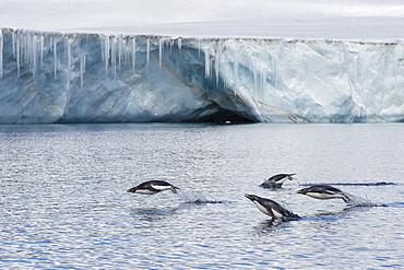 Porpoising adult Adelie penguins (Pygoscelis adeliae), Brown Bluff, Weddell Sea,  Antarctica, Polar Regions