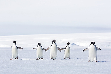 Adult Adelie penguins (Pygoscelis adeliae) walking on first year sea ice in Active Sound, Weddell Sea, Antarctica, Polar Regions