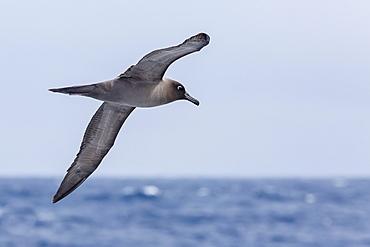 Adult light-mantled sooty albatross (Phoebetria palpebrata) in flight in the Drake Passage, Antarctica, Polar Regions