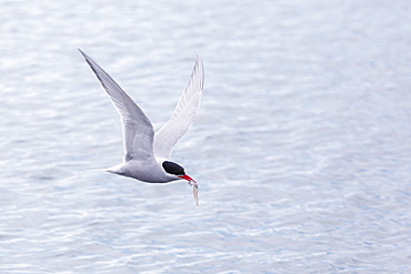Adult Antarctic tern (Sterna vittata) in flight with fish in its bill in the Enterprise Islands, Southern Ocean, Antarctica, Polar Regions