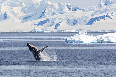Adult humpback whale (Megaptera novaeangliae) breaching in the Gerlache Strait, Antarctica, Polar Regions