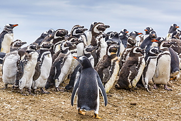 Magellanic penguins (Spheniscus magellanicus) molting feathers near gentoo penguin (Pygoscelis papua), on Saunders Island, West Falkland Islands, UK Overseas Protectorate, South America